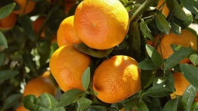 Photo of Nagpur Oranges give fungal infected orange juice