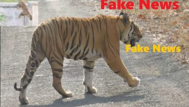 Photo of Tiger Spotted in Gorewada leading the areas in vicinity on High Alert – Its Rumor