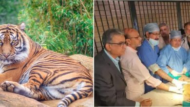 Photo of Male Tiger Sahebrao rejects artificial limb leading the doctors' team disappointed