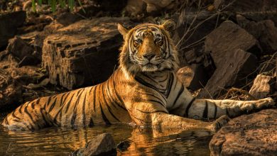 Photo of Maharashtra registers most number of deaths by tigers