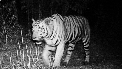 Photo of The Tiger is Back in Mihan as spotted after eight days