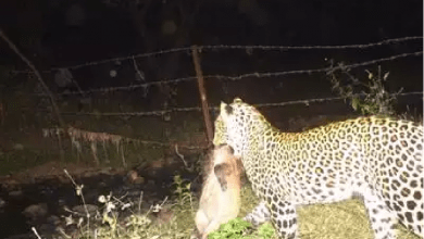 Photo of Leopard at Ambazari Caught on Camera with Boar