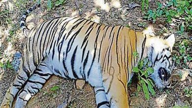 Photo of City Loses another Tigress Meera